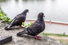 A Pair Of Grey Pigeons Sitting On A Stone Wall In The City, Scene Near A River. Two Representants Of The Animal Columbidae Family, Urban Area. Closeup, Macro Sharp Detailed Hdr Wildlife Shot