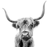 Fototapeta Zwierzęta - A Highland cow in Scotland.