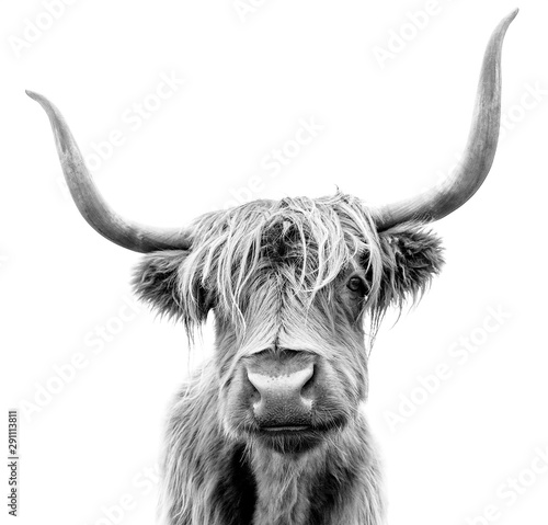 Spoed Fotobehang Buffel A Highland cow in Scotland.