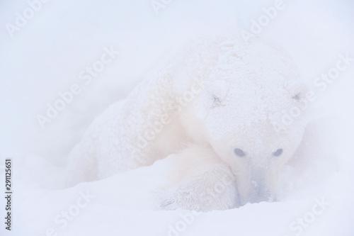 Foto op Plexiglas Ijsbeer Polar Bear (Ursus maritimus), Churchill, Hudson Bay, Manitoba, Canada, America