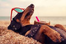 Cute Dog Of Dachshund, Black A...