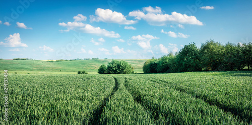 Poster Olive Picturesque spring view of field of fresh wheat. Rural morning scene of the Bulgarian countryside, Ruse town location, Bulgaria, Europe. Beauty of countryside concept background.