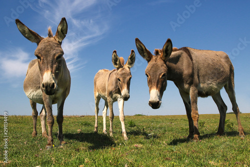 Obraz na plátne Three funny curious donkeys is staring