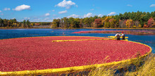 Cranberry Harvest In Autumn Wh...