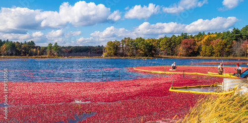 Carta da parati Cranberry harvest in autumn when bogs are flooded and bright red cranberry fruits float to the surface in a brilliant fall display of color and a mainstay of the agricultural industry in New England