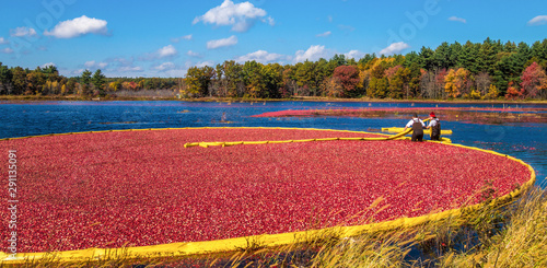Obraz na plátně  Cranberry harvest in autumn when bogs are flooded and bright red cranberry fruits float to the surface in a brilliant fall display of color and a mainstay of the agricultural industry in New England