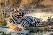 Tiger Cub Yawning In A Tiger Canyons Private Game Reserve In South AFfrica