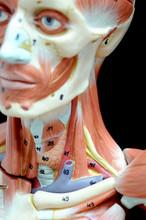 ้human Muscle Anatomy Model