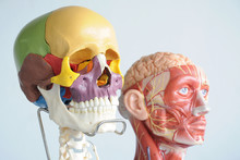 Human Head Anatomy Model