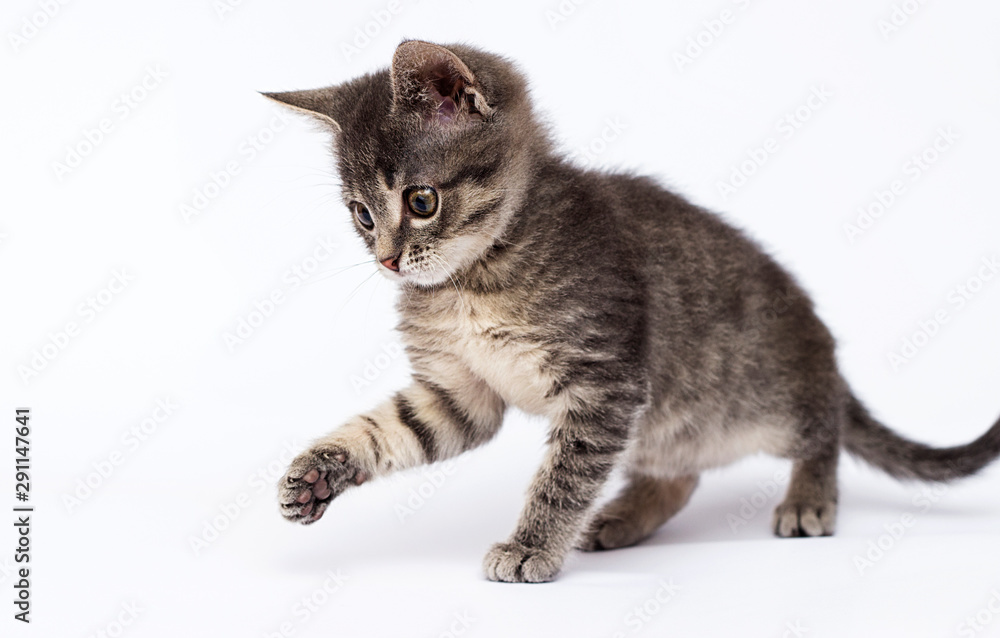 Fototapety, obrazy: cute striped kitten looks up on a white background