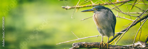 Striated Heron on Galapagos Islands foraging and catching and eating food on Tortuga Bay, Santa Cruz Island Wallpaper Mural