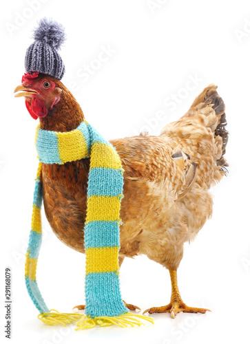 Fotografie, Tablou Chicken in a scarf.