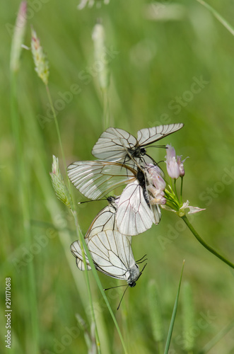 Black-veined White, Aporia crataegi, group of butterflies mating, courtship,, Andalusia, spain Wallpaper Mural