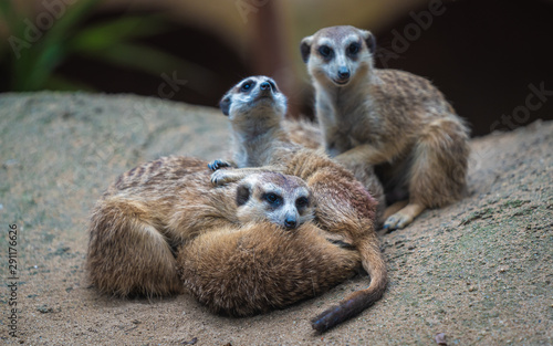 Meerkat And Friends Wildlife Animal Canvas Print