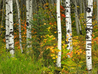Panel Szklany Podświetlane Brzoza Colorful fall aspens in the Wasatch Mountains, Utah, USA.