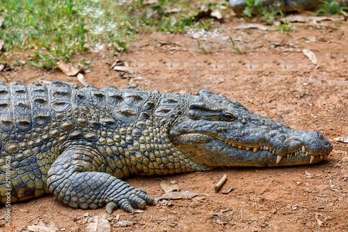 Printed kitchen splashbacks Crocodile Big species of Madagascar Crocodile, Crocodylus niloticus madagascariensis, Vakona Private Reserve. Magagascar wildlife and wilderness