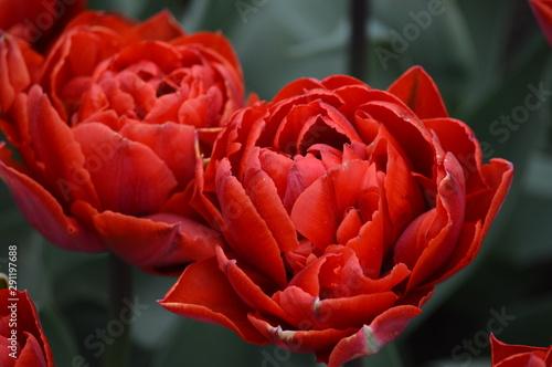 Aluminium Prints Tulip Tulips red orange macro