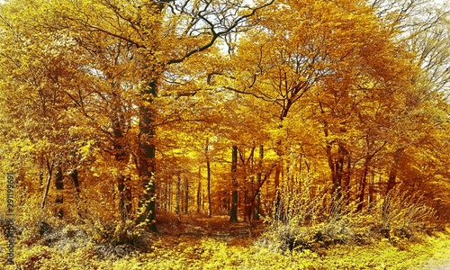 Fototapety, obrazy: Beautiful view on orange and brown autumn trees in a forest
