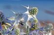 Blüte einer Stranddistel (Eryngium maritimum) - sea holly / seaside eryngo
