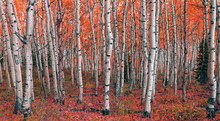 Colorful Fall Aspens In The Wa...