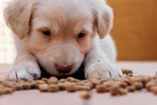 Il Cucciolo E L'alimentazione, Cane Simil Golden Retriever Mangia Crocchette E Croccantini