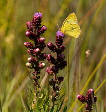 Butterfly, Clouded Sulphur