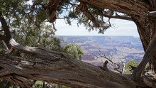 Old Juniper Tree In Grand Canyon