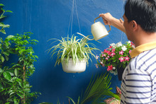 Asian Man Watering Plant At Home, Businessman Taking Care Of Chlorophytum Comosum ( Spider Plant ) In White Hanging Pot After Work, On The Weekend, Air Purifying Plants For Home, Stress Relief Concept
