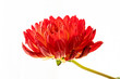 Leinwandbild Motiv Close up of red dahlia with stem on white background