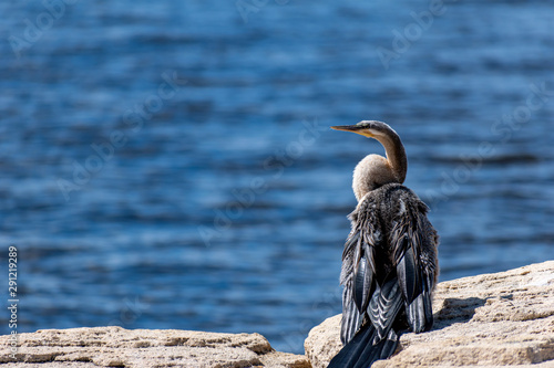 Fotografie, Obraz  Darter bird by the sea