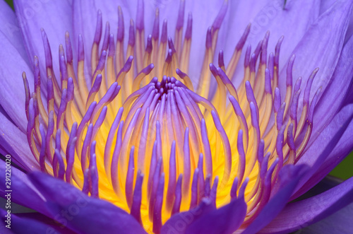 Poster de jardin Nénuphars Close-up photos of lotus flowers in bright and beautiful colors in natural beauty.