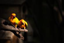 Beautiful Parrot, Sun Conure On Tree Branch