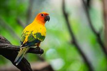 Beautiful Parrot, Sun Conure O...