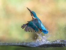 Common European Kingfisher Eme...