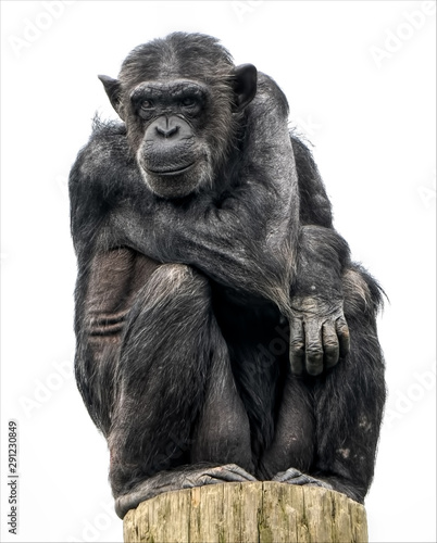 Fotografie, Obraz An adult chimpanzee sitting watching and relaxing on top of a tree trunk