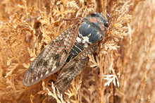 Large Brown Cicada (Graptopsaltria Nigrofuscata) On The Branches Of A Plant In Japanese Summer. Dried Leaves Background. Copy Space. Horizontal Shot.