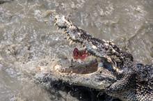 Crocodile In The Water Eats Meat. Hungry Crocodile Tearing Meat On Splashing Water Surface.