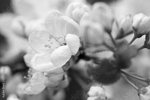 Fototapeta cherry blossoms in the spring garden obraz na płótnie