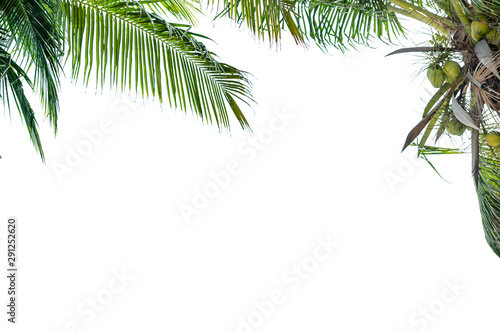 Acrylic Prints Roe Palm tree with isolatd on white background and space for text