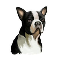 Boston Terrier Dog Breed Isolated On White Background Digital Art Illustration. Boston Terrier Is A Compactly Built, Well-proportioned Dog, Black And White Dog Portrait, Domestic Puppy Pet.