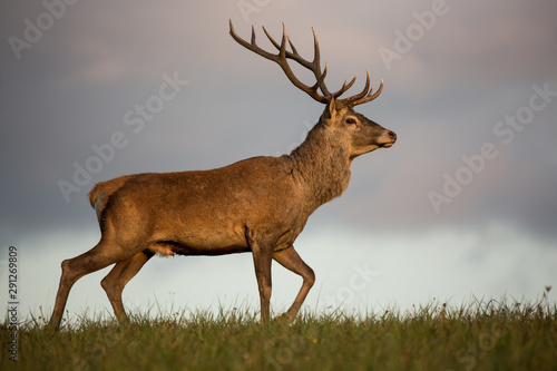 Fotobehang Hert Red deer (cervus elaphus) running on grassland.