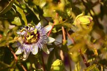 Bluecrown Passiflora Caerulea Flower In The Autumn Sun, Blue Passionflower In Bloom