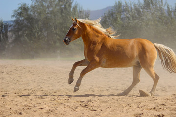 magnificent horse halfling with a white mane and tail shows off and gallops, haflinger horse breed