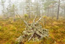 Old Windfall On A Misty Bog