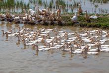 Ninh Binh, Vietnam, A Flock Of...