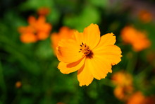 Orange Coreopsis Flower Growing In The Garden