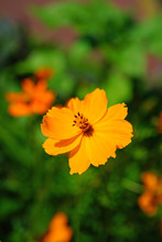 Orange Coreopsis Flower Growin...