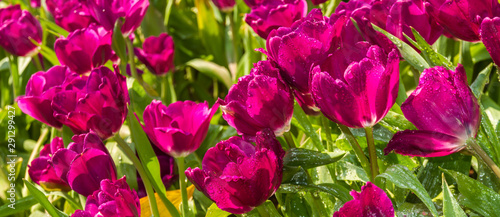 Papiers peints Rose Closeup pink tulips flower background. Beautiful view of tulips in fog landscape at the middle of spring or summer.