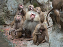 Family Group Of Hamadryas Baboon Monkeys Resting With Rocks As Background