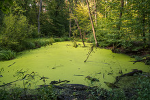 Swamp In Kabacki Forest, Masov...